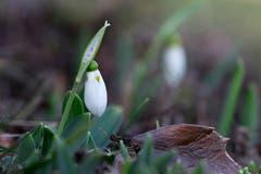 Ein klitzekleiner Hauch von Frühling. Eines der ersten Schneeglöckchen bei Egnach. (Bild: Franz Häusler)