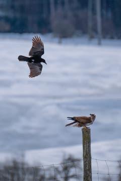 Krähe und Rotmilan beäugen sich kritisch bei Herisau. (Bild: Luciano Pau)