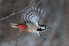 Schnappschuss des Buntspechtes im Flug mit einer kurzen Belichtungszeit von nur 1/5000 Sekunden. (Bild: Hans Aeschlimann)