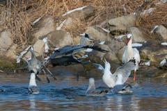 Keiner will zu kurz kommen! Vögel schnappen nach Fischresten im See bei Altenrhein.(Bild: Edgar Huber)