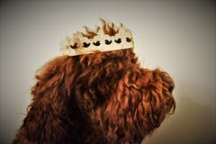 Barbet Rüde Cooper, 8 Jahre alt, zeigt sich stolz als König vom Seilihus. (Bild: Alfred Herzog, Willisau, 5. Januar 2019)