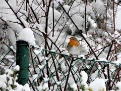 Dieses Rotkehlchen nähert sich ganz vorsichtig der Futterkrippe, denn mit dieser Schönheit in der schneebedeckten Umgebung fällt man natürlich den Katzen sofort auf. Aufgenommen in Meggen. (Bild: Margrith Imhof-Röthlin (Meggen, 5. Januar 2019))