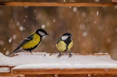 Schnee bis in tiefen Lagen.Kohlmeisen warten auf Futter...(Bild: Stefan Truffer)