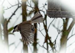 Körner schnappen und Abflug. (Bild: Hardy Konzelmann, Obernau, 6. Januar 2018))