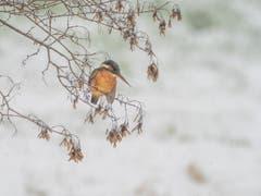 Eisvogel im Schneegestöber am Fischen. (Bild: Matthias Kopp)