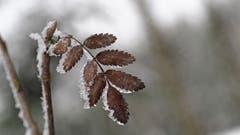 Eisig kalt ist es aktuell auch für die Pflanzen. (Bild: Marianne Schmid, 7. Januar 2019)