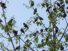 Zu Hunderten scharen sich die Staren auf den Bäumen. (Bild: Josef Lustenberger, 9. Oktober 2019)