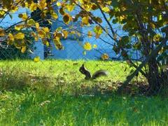 Für das Eichhörnchen ist Nüsse knacken und Vorrat anlegen für den Winter angesagt. (Bild: Josef Lustenberger, Wolhusen, 10. Oktober 2019)