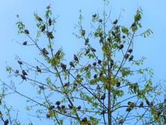 Alle Vögel (Stare) waren noch da … jetzt sind sie schon weg! (Bild: Josef Lustenberger, 9. Oktober 2019)