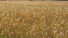 Goldiger Herbst - Schilfgebiet am Bodensee. (Bild: Fredy Zünd)