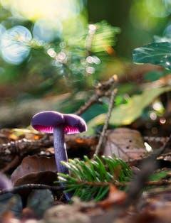 Violetter Schleierling im Gegenlicht. (Bild: Thomas Ammann)