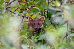Statt das erwartete Eichhörnchen erschien ein Baummarder. (Bild: Edgar Huber)