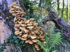 Pilze in Massen bei Montlingen. (Bild: Toni Sieber)