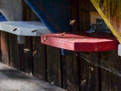 Ganz klar vorgegebene Anflugschneise bei einem emsigen Bienenvolk beim Tannenbergwald. (Bild: Franz Häusler)