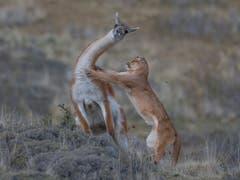 In der Kategorie «Verhalten von Säugetieren» gewann Ingo Arndt aus Deutschland mit seiner Aufnahme eines Pumas, das in Patagonien ein Guanako erlegt. Er teilte sich den ersten Platz mit dem Hauptgewinner Yongqing Bao und dessen Murmeltier-Foto. (Bild: Ingo Arndt, Deutschland)