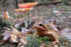 Ein Grasfrosch im Wald bei Engelburg unterwegs. (Bild: Toni Bürgin)