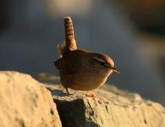 Zaunkönig - der kleinste Vogel im Abendlicht. (Bild: Urs Fankhauser)