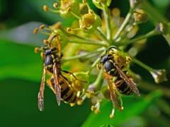 Viel später als die Herbstzeitlose beginnt der Efeu zu blühen. Ein Paradies für Insekten, in überwiegender Zahl für Wespen, die hier über Wochen zu Gast sein werden. (Bild: Ernst Giger)