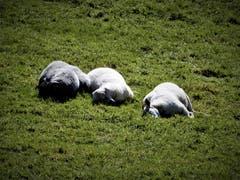 Machen wir mal eine kleine Ruhe-Pause; Das war wohl heute das Motto dieser Schafe im sonnigen Eigenthal. (Bild: Margrith Imhof-Röthlin, Eigenthal, 17. Oktober 2019)
