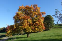 Leuchtende Herbstfarben in Rickenbach. (Bild: Josef Habermacher, Rickenbach, 17. Oktober 2019)