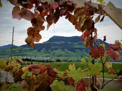 Die Königin der Berge wird von einem herbstlichen «Weinblätter-Schmuck» umrahmt. (Bild: Margrith Imhof-Röthlin, Küssnacht, 18. Oktober 2019)