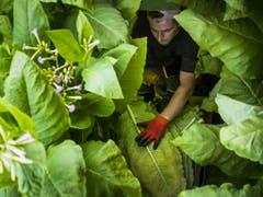 Tabakanbau ist aufwendig, bei der Ernte braucht es viel Handarbeit. (Bild: KEYSTONE/JEAN-CHRISTOPHE BOTT)