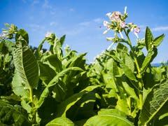 In der Schweiz wird auf immer weniger Flächen Tabak angepflanzt. (Bild: KEYSTONE/JEAN-CHRISTOPHE BOTT)