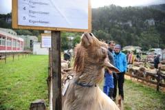 Impressionen von der Urner Kleinviehschau. (Bild: Urs Hanhart, Schattdorf, 2. Oktober 2019)
