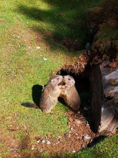 Erst vor wenigen Wochen aufgenommen: zwei Murmeli auf der Klewenalp. (Leserbild: Natalie Häussler)