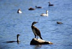 Am Bodensee ist es ruhiger geworden und die Wasservögel sind wieder weitgehend unter sich. Kormorane und Co. am Rheinspitz. (Bild: Ingrid Zürcher)