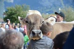 Die besten Kühe wurden im Ring vorgeführt.
