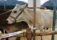 Eine der ganz grossen Schönheiten: die Kuh Europa, die schon einmal Miss Obwalden war. (Bild: Romano Cuonz, Sarnen, 4. Oktober 2019)