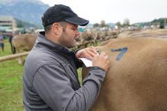 Sepp Infanger aus Engelberg notiert jedes Detail der Spitzenkuh mit der Eins auf dem Rücken. (Bild: Romano Cuonz, Sarnen, 4. Oktober 2019)