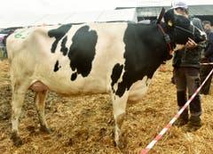 Die Miss Holstein ist ganz schön handzahm.