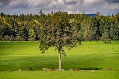 Treffpunkt beim grossen Baum in Albertschwil, Gossau. (Bild: Luciano Pau)