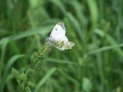 Zarter Schmetterling, gesehen in der Nähe von Gossau. (Bild: Claudine Germann)