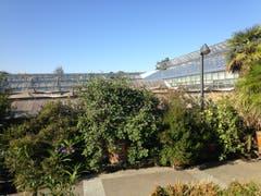 Hinter dieser Hecke entsteht nach dem Abbruch dreier alter Gewächshäuser der neue Vortragsraum des Botanischen Gartens. (Bild: Reto Voneschen - 12. September 2018)