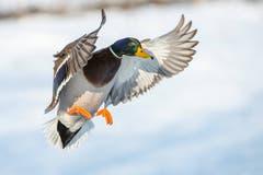 Eine Ente (Bild: PD)