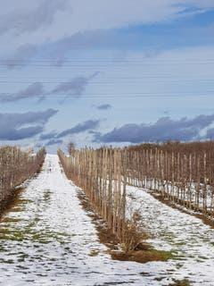 Mostindiens Obstplantagen in der Winterruhe, Zihlschlacht. (Bild: Reto Schlegel)