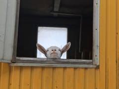 Die Ziege wittert Frühlingsluft. (Bild: Renate Wachsmuth)