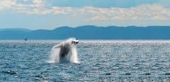 Bei Quebec an der Ostküste Kanadas kann man hervorragend Wale beobachten. (Bild: Croisieres AML)