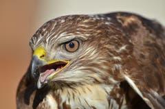 Typisch für einen verletzten Vogel hält dieser seinen Schnabel geöffnet.
