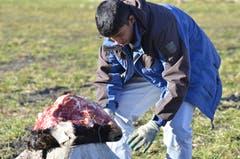 Rund 13 Kuhköpfe werden pro Winter an die Greifvögel verfüttert.