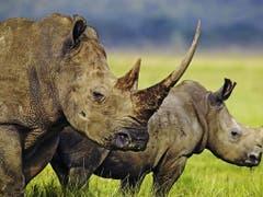 Im Jahr 2018 wurden in Südafrika 769 Nashörner gewildert, ein Viertel weniger als im Jahr zuvor. (Archivbild). (Bild: KEYSTONE/PHOTOPRESS/WWF INTERNATIONAL/MARTIN HARVEY)