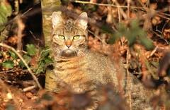 Katze im Wald in Wigoltingen. (Bild: Urs Fankhauser)