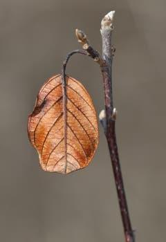 Dieses Herbstblatt hat den Winter am Ast schadlos überstanden. (Bruno Schuler (Gnappi, 17. Februar 2019))