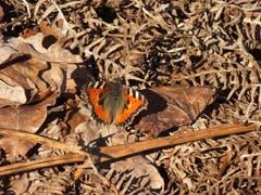 Sonnenschein und Wärme bringen die ersten Schmetterlinge zum Fliegen. (Bild: Toni Bürgin)