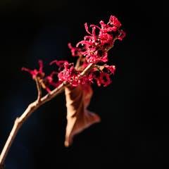 Frühlingsgefühle im Garten: In der Abendsonne aufleuchtende rote Zaubernuss. (Bild: Franz Häusler)