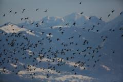 Vogelschwarm über dem Rheintal. (Bild: Hans Aeschlimann)