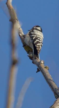 Der Kleinspecht sucht seine Nahrung hoch oben in den Baumkronen und kann deshalb nur selten beobachtet werden. Hier gelang die Beobachtung bei Gaissau. (Bild: Hans Aeschlimann)